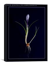 Botanical crocus, Canvas Print
