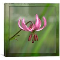 Martagon Lily, Canvas Print