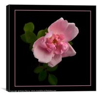 Blousy Rose, Canvas Print