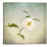 Jacobite Rose, Canvas Print