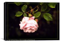 Rosa New Dawn, Canvas Print