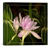 "Autumn Crocus - ""Waterlily""., Canvas Print"
