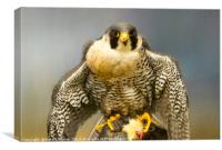 Peregrine Falcon Feeding, Canvas Print