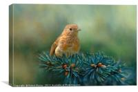 Young Robin on Pine Tree, Canvas Print