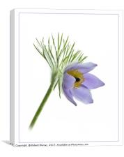 Pasque Flower, Canvas Print