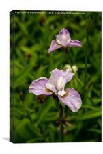 Siberian Iris, Canvas Print