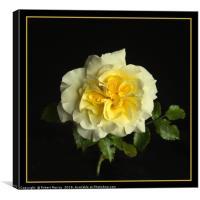 Yellow Rose, Canvas Print