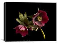 Lenten Rose, Canvas Print