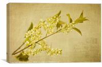 Vintage wild cherry blossom, Canvas Print