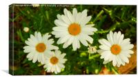 Daisies New and Old, Canvas Print