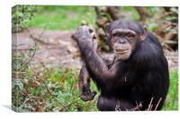 Cheeky Chewing Chimp, Canvas Print