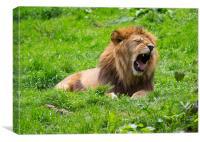 Sleepy Male Lion, Canvas Print