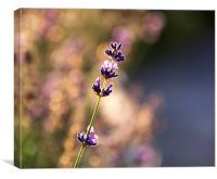 Lavender dreaming, Canvas Print