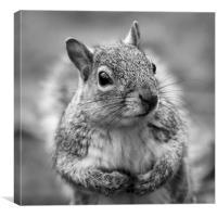 Grey squirrel - square crop, Canvas Print