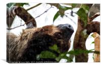 Southern two-toed sloth, Canvas Print