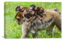Two baby Barbary macaques hitching a ride, Canvas Print
