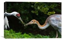 Red crowned crane feeding its chick, Canvas Print