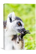 Ring-tailed lemur cleaning itself, Canvas Print