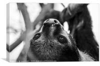 Southern two-toed sloth , Canvas Print