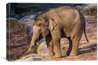 Asian elephant calf, Canvas Print