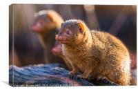 Common dwarf mongoose, Canvas Print