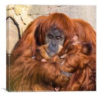 Mother and baby Sumatran Orangutans, Canvas Print