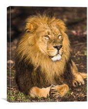 Asiatic lion in the sunshine, Canvas Print