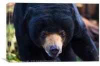 Malayan sun bear wonders towards the camera, Canvas Print