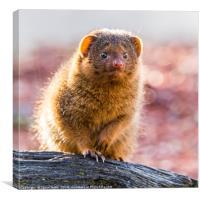 Backlit Common dwarf mongoose, Canvas Print