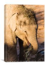 Infant Asian elephant feeding, Canvas Print