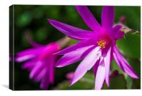 Easter Cactus, Canvas Print