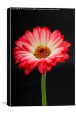 Gerbera on a Stem, Canvas Print