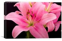 Oriental Pink Lilly, Canvas Print