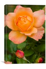 Yellow Peace Rose, Canvas Print