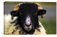 Swaledale Sheep, Canvas Print