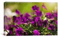Purple pansies flowering bunch, Canvas Print
