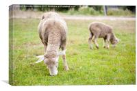 ewe with lamb grazing in Poland , Canvas Print