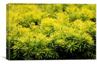 Taxus baccata Yew new shoots, Canvas Print