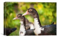 Muscovy Duck or Cairina moschata watching , Canvas Print
