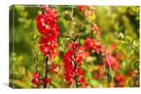 Chaenomeles shrub red blossoms, Canvas Print