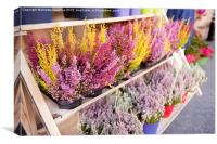 Shop shelves with blooming heather flowers , Canvas Print