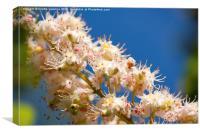 Macro of blooming Aesculus on blue sky , Canvas Print