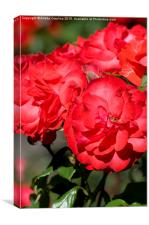 Flowerheads of red roses zoom , Canvas Print