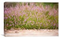 Bunches of pink heather flowering in forest , Canvas Print