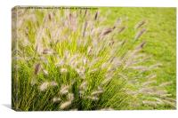Grass bunch Pennisetum alopecuroides, Canvas Print