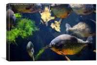 Red bellied piranha fishes, Canvas Print