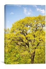 Bright spring oak tree, Canvas Print