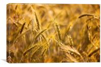 Raindrops on golden cereal plants, Canvas Print