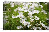 White Cosmos Bipinnatus blooming, Canvas Print