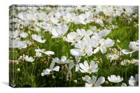 White Cosmos plants blooming, Canvas Print